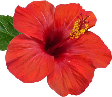 Flor gardenia